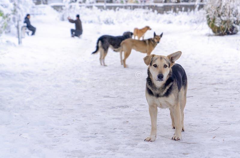 Vier verdwaalde honden in de winter en mens nemen foto's op achtergrond Het concept iedereen houdt van sneeuwbeeld te hebben royalty-vrije stock afbeeldingen