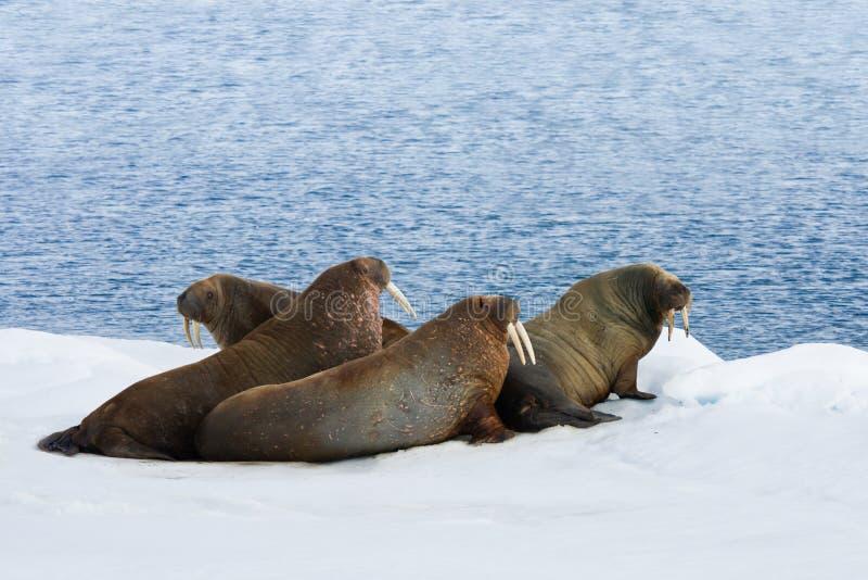 Vier Walrussen die op de Sneeuw liggen stock afbeelding