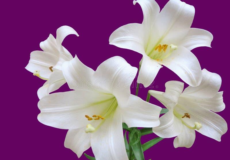 Vier weiße Lilien, Lilium Longiflorum, weiße Trompeten-Lilie, lokalisiert auf einem purpurroten Hintergrund lizenzfreies stockfoto