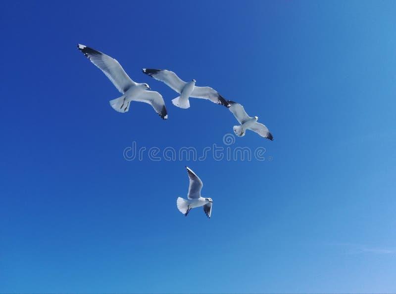 Vier weiße Seemöwen im blauen Himmel lizenzfreie stockfotos