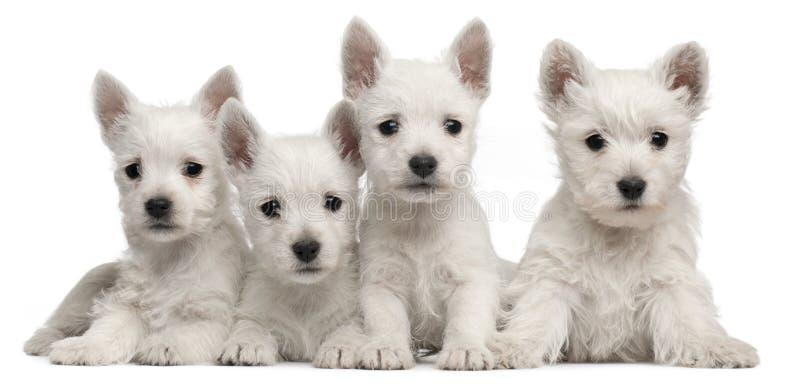 Vier Westhochland-Terrierwelpen, 7 Wochen alt stockfotografie