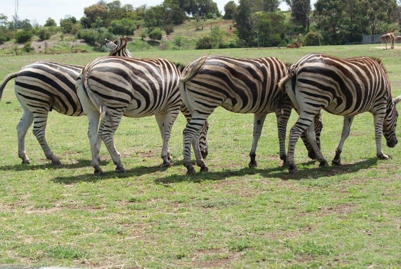 Vier zebras stock foto's