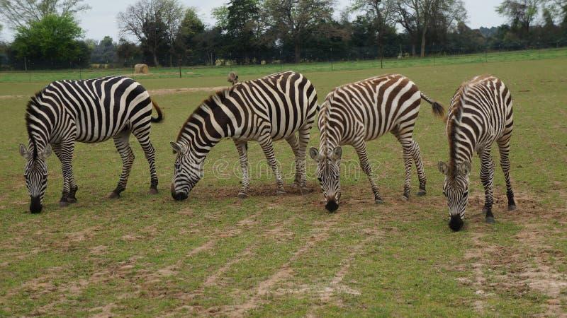 Vier Zebras lizenzfreies stockfoto