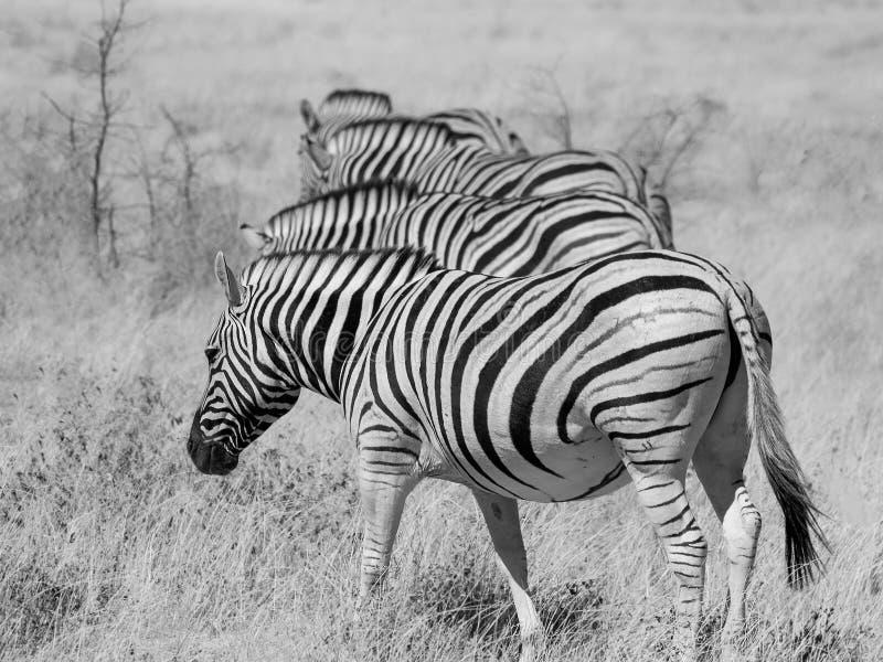 Vier Zebras in Folge lizenzfreie stockbilder