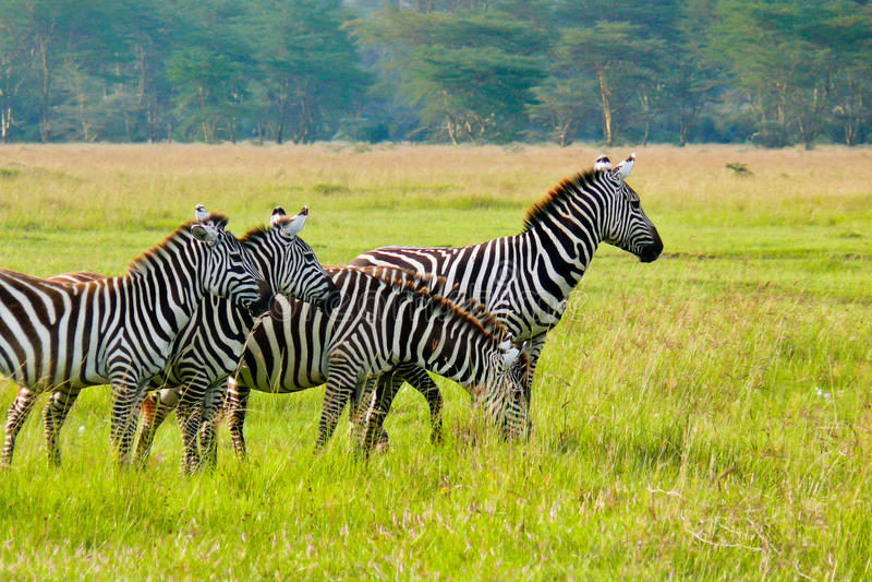 Vier Zebras, Maasai Mara, Kenia royalty-vrije stock foto's