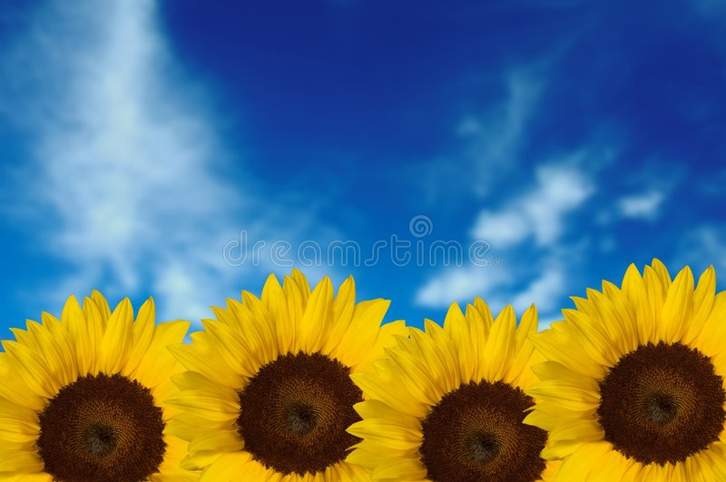 Vier Zonnebloemen met hemelachtergrond royalty-vrije stock foto's