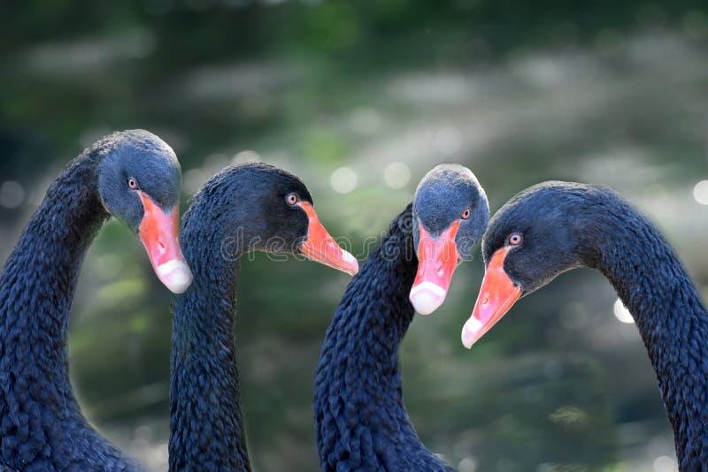 Vier zwarte zwanen schijnen in conferentie stock afbeelding