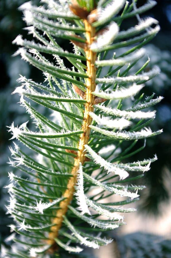 Vierboomtak, naalden met hoarfrost, ijs op de plant, wintertijd stock afbeelding