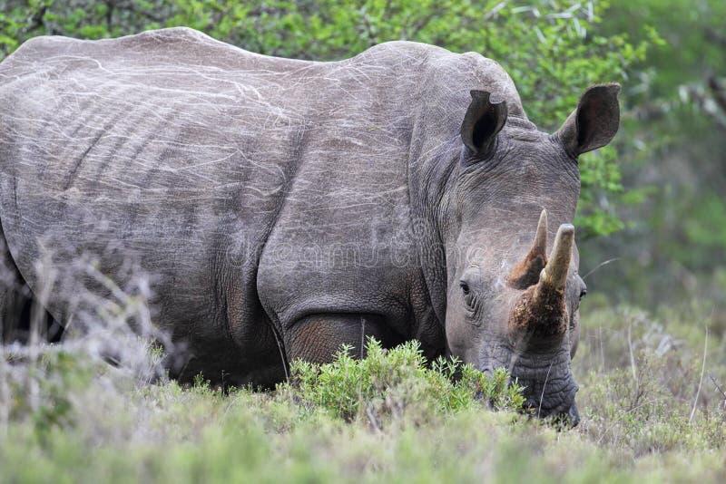 Vierkant-lipped Rinoceros (Ceratotherium-simum) stock foto's