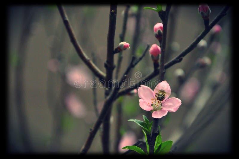 Viet Nam Tet fotografie stock libere da diritti