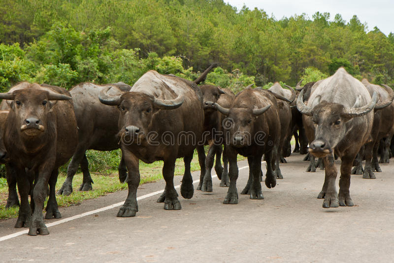 Vietnam buffalos 2 royalty free stock images