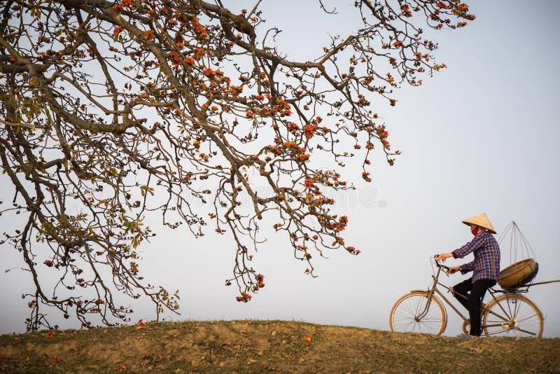 vietnam för liggandedoftflod sikt Blomstra Bombaxceibaträdet eller röd siden- bomull blomma med en kvinna som cyklar på bygddyle royaltyfri fotografi