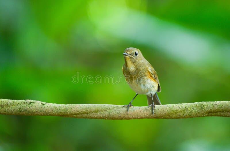 Vietnam lösa fågel i naturen, röd-flankerad bluetail arkivbilder