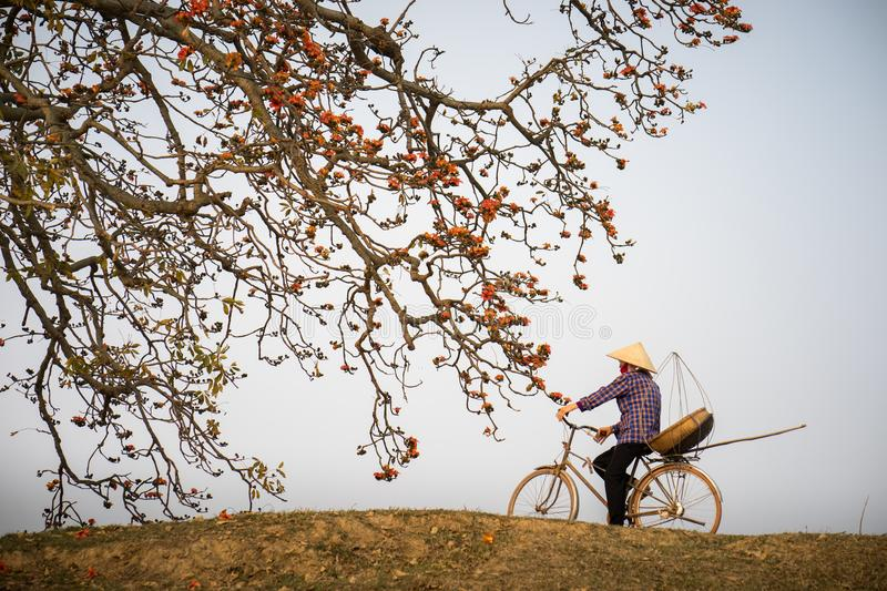 Vietnam landscape. Blossoming Bombax ceiba tree or Red Silk Cotton Flower with a woman cycling on countryside dyle royalty free stock photo