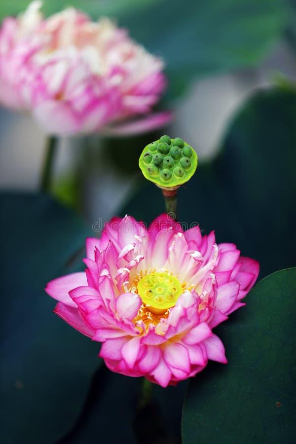 Vietnam Lotus royalty-vrije stock afbeelding
