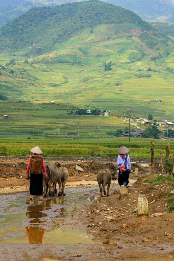 Vietnamees landbouwer en vee of buffels stock afbeelding