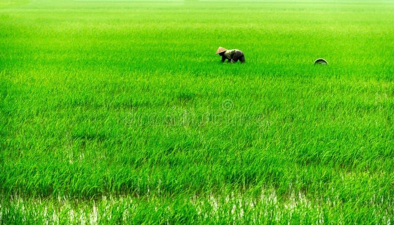 Vietnamees op het padieveld stock afbeelding