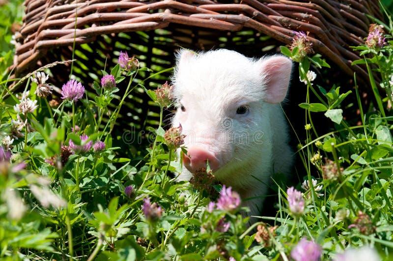 Vietnamees varken, dat gras op een zonnige dag eet stock afbeelding
