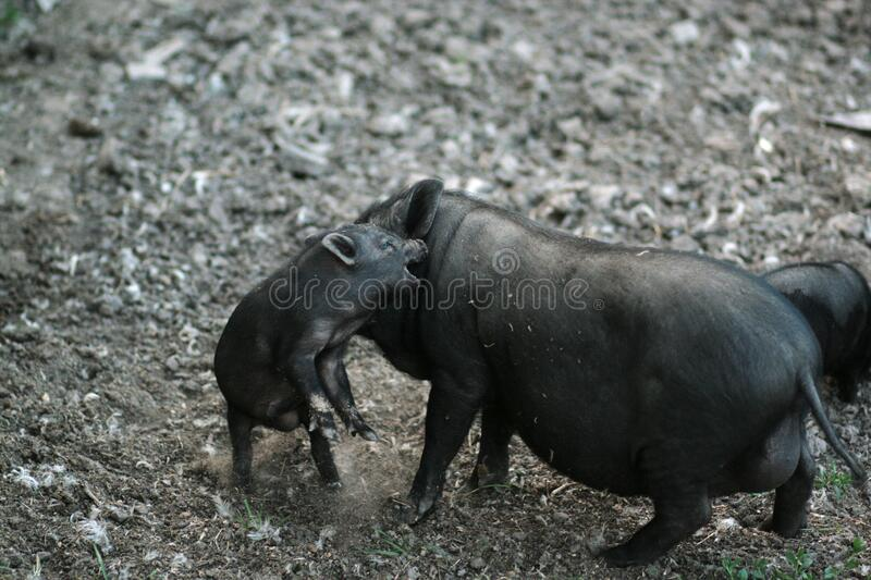 Vietnamese black bast-bellied pig. Herbivore pigs.  stock photography