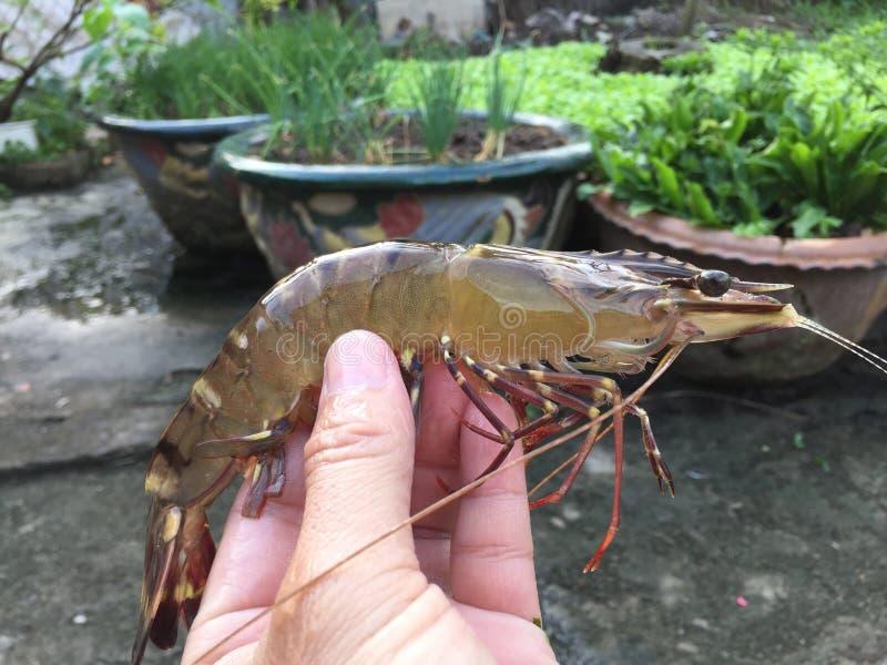 The Vietnamese black tiger shrimp, Penaeus monodon. Vietnamese black tiger shrimp, Penaeus monodon royalty free stock photography