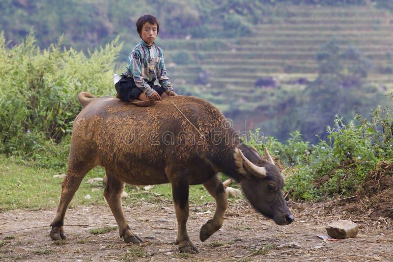 Vietnamese Child on Water Buffalo. SAPA, VIETNAM - OCTOBER 26: Unidentified Vietnamese child riding water buffalo on road October 26, 2014 in Sapa, Vietnam stock photography