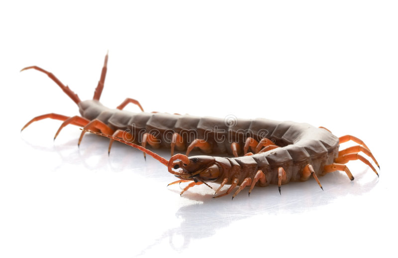 Vietnamese Giant Centipede royalty free stock images