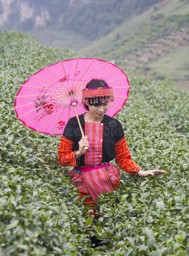 Vietnamese Hmong minority ethnic girl in traditional costume picking tea bud royalty free stock images