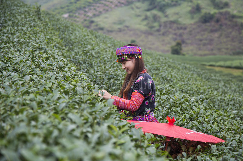 Vietnamese Hmong minority ethnic girl in traditional costume picking tea bud stock photos