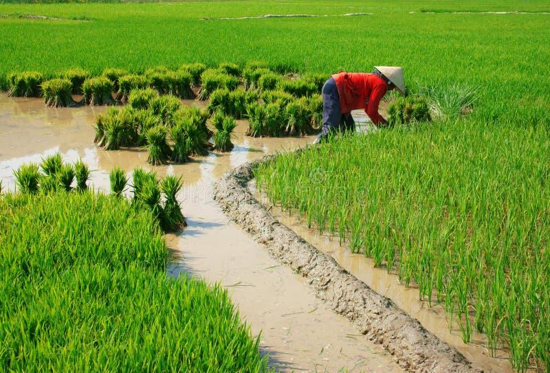 Vietnamese landbouwer die aan padieveld werken stock afbeeldingen