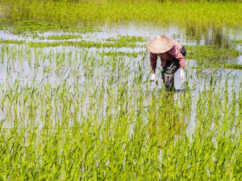 Vietnamese landbouwer die op padieveldgebied werken royalty-vrije stock foto