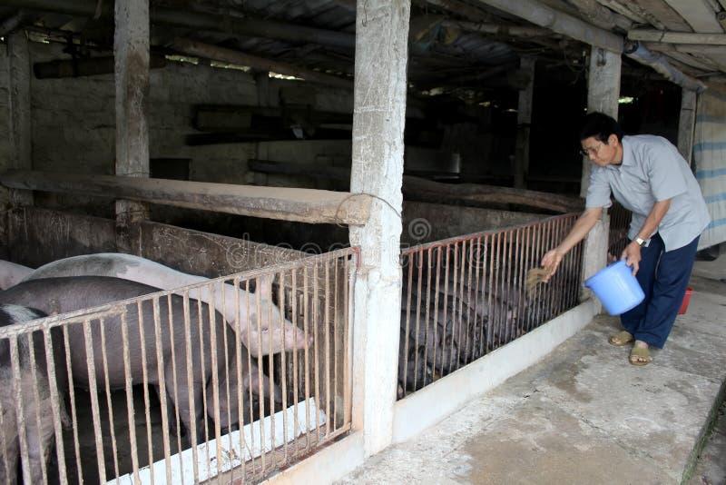 Vietnamese landbouwer om varkens te voeden stock foto