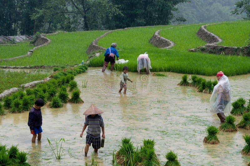 Vietnamese landbouwers in padieveld royalty-vrije stock afbeeldingen