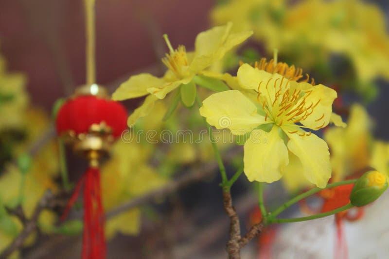 Vietnamese Mickey Mouse Plant, Ochna integerrima, Ochnnaceae, Blume mit verwischte das Laternen Chinesische Neujahrsfest stockbilder