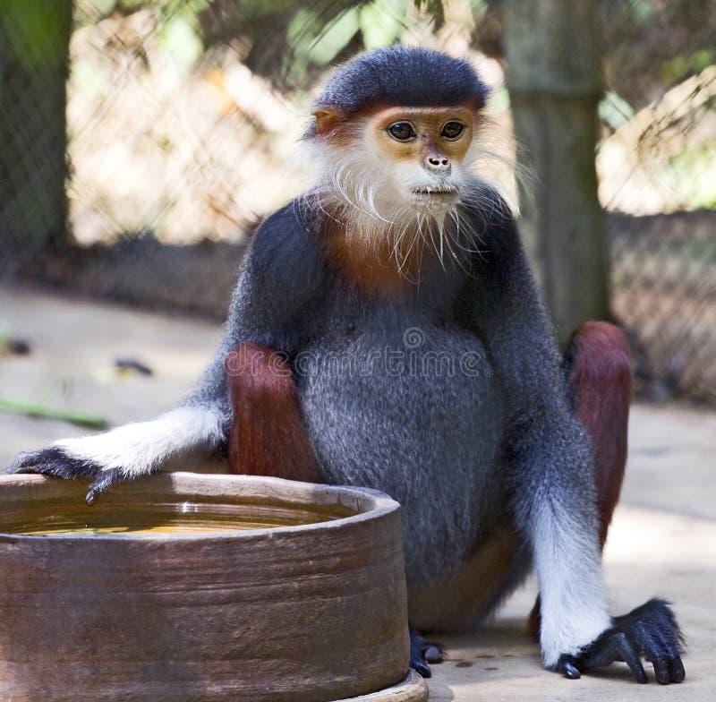 Vietnamese Monkey royalty free stock photos