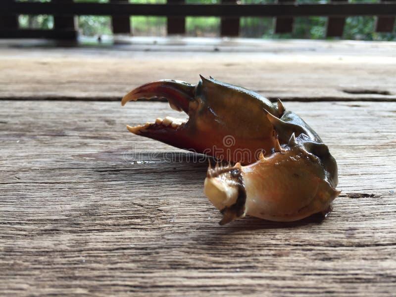 The Vietnamese mud crab, Scylla serrata. Vietnamese mud crab, Scylla serrata stock photo