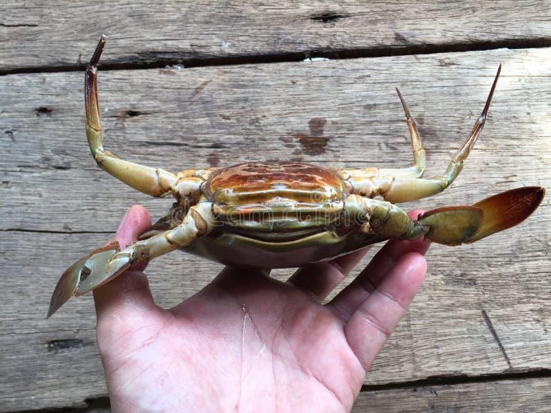 The Vietnamese mud crab, Scylla serrata. Vietnamese mud crab, Scylla serrata royalty free stock photos