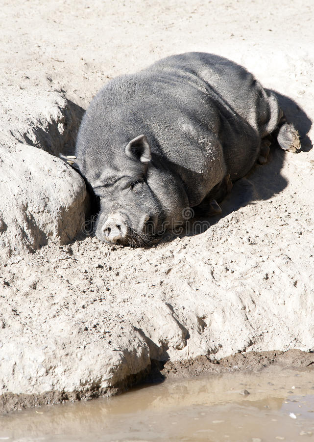 Vietnamese Pig Royalty Free Stock Photography