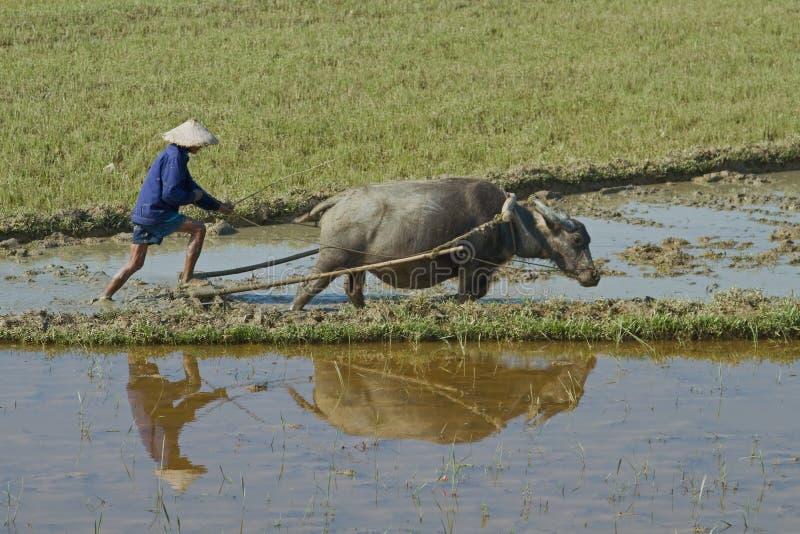 Download Vietnamese Plowman Editorial Photo - Image: 24916836