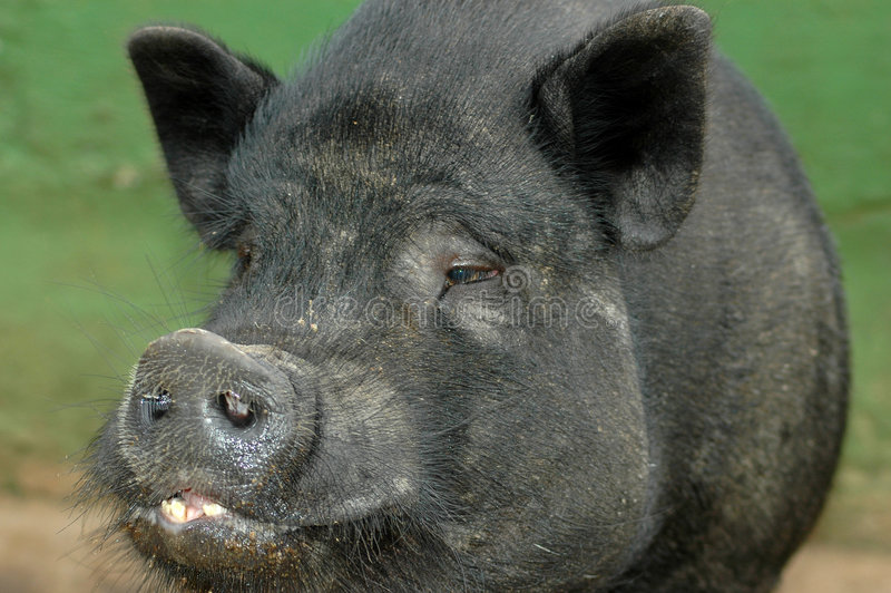 Download Vietnamese Pot Bellied Pig stock image. Image of asian - 2027015