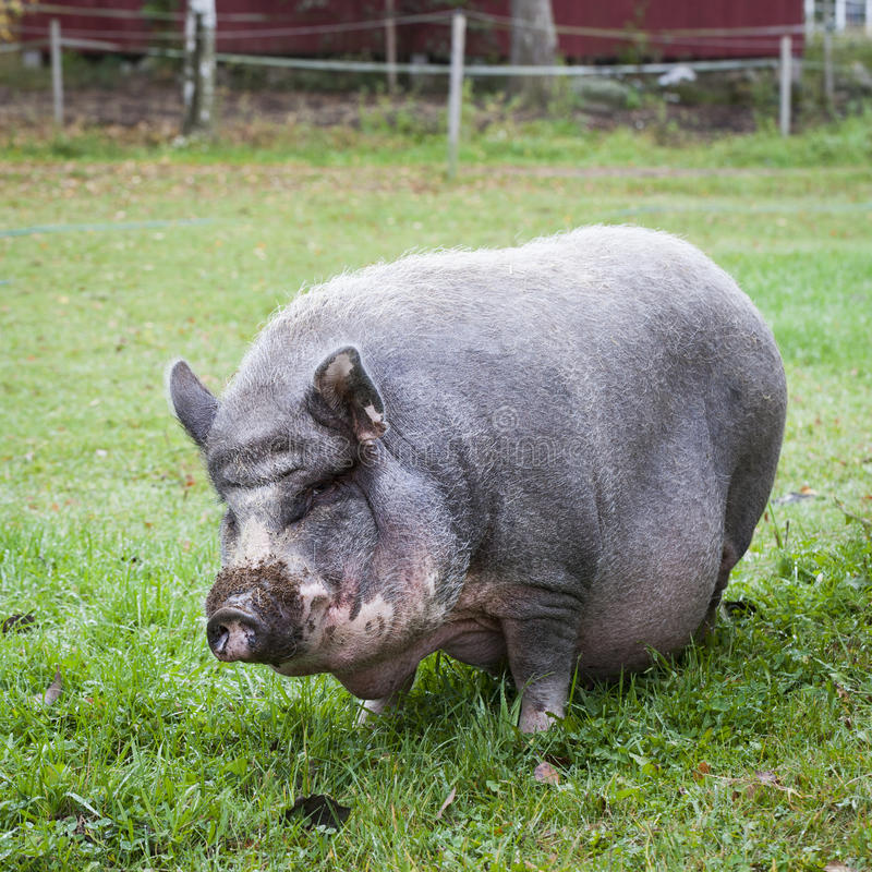 Free Vietnamese Pot-Bellied Pig Stock Photography - 56155072