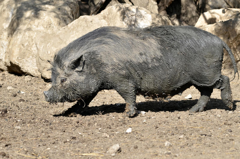 Download Vietnamese potbellied pig stock image. Image of grey - 26290979