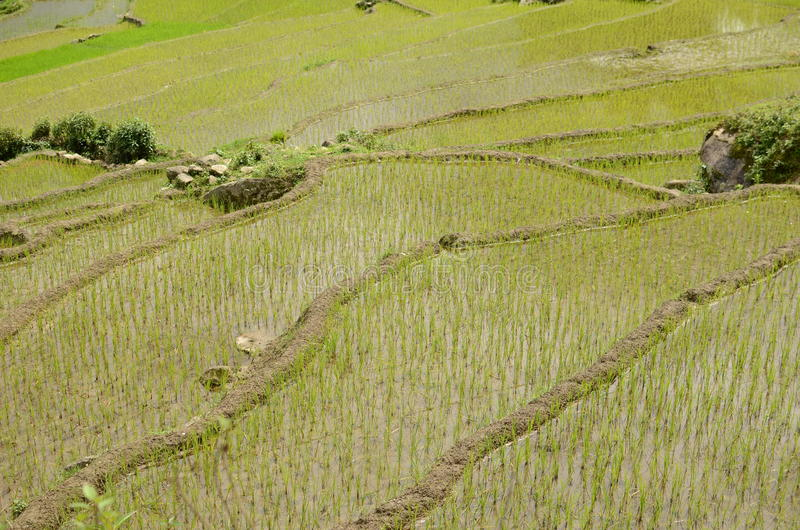Vietnamese rice terraces. Green mountains and rice fields near Sapa, Vietnam royalty free stock image