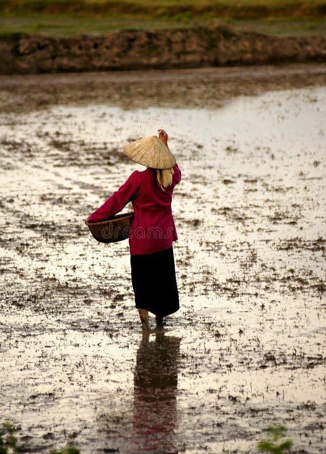 Vietnamese vrouw het zaaien rijst royalty-vrije stock fotografie