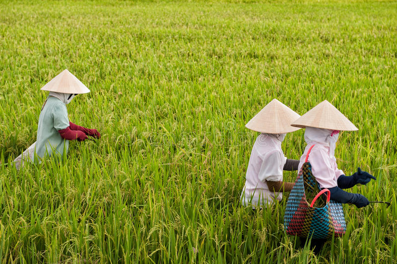 Vietnamese vrouwen die in een padieveld werken stock foto's