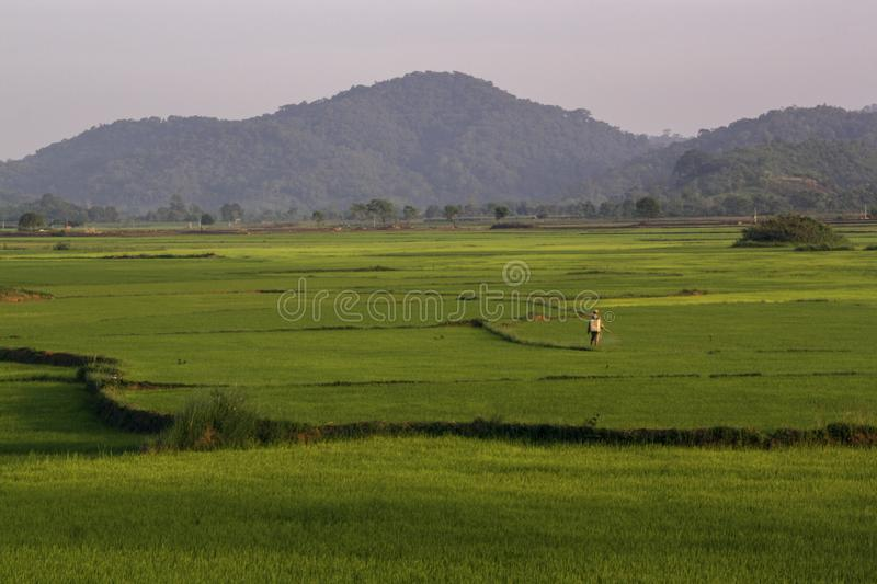 Asian worker handles rice fields stock photos