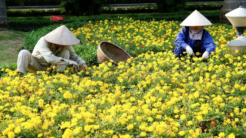 Vietnamese workers pruning a bed of flowers in Hanoi, Vietnam. stock images