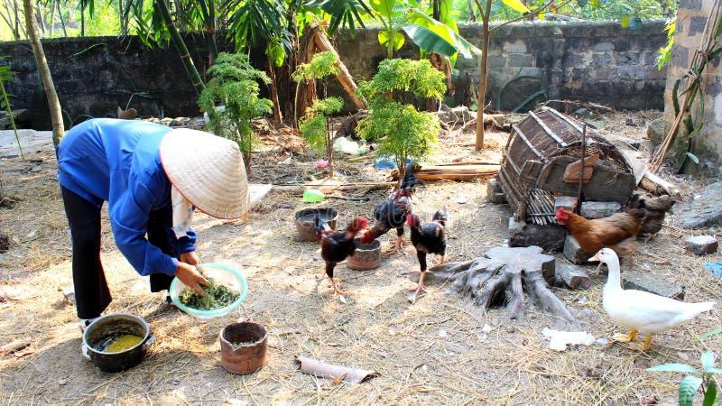 Hühnerhaltung Im Garten vietnamesische frauenlandwirtzufuhr die hühner im garten