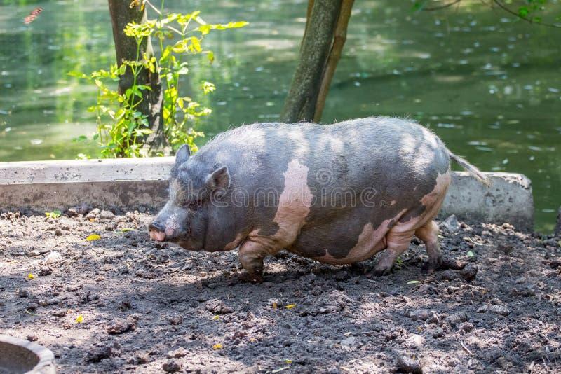 Vietnamesisches Schwarzes mit rosa Stellen des Schweins auf einem farm_ lizenzfreie stockfotos