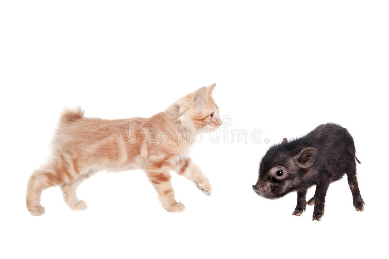 Vietnamesisches Schweinbaby mit rotem Kätzchen auf Weiß lizenzfreie stockbilder
