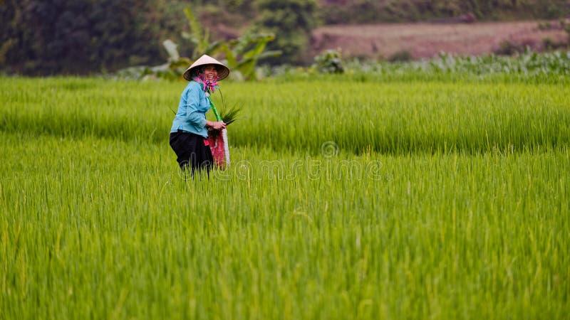 Vietnamesisk bonde i fält royaltyfria bilder